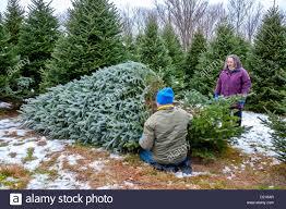 Eustis Christmas Tree Farm by Cutting Down Christmas Tree Stock Photos U0026 Cutting Down Christmas