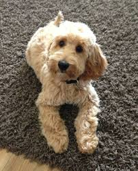 Do F2 Cockapoos Shed the 25 best cockapoo grooming ideas on pinterest cockapoo