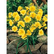 shop 2 count stella de oro daylily l8410 at lowes