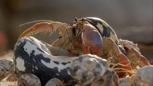 Do Hermit Crabs Shed Their Body by Hermit Crabs Line Up From Smallest To Biggest In Order To Trade