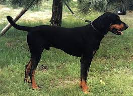 Do Black And Tan Coonhounds Shed by 53 Best Black And Tan Hound Images On Pinterest Black Dog