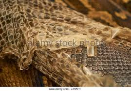 Shed Snake Skin Pictures by Shed Snake Skin Stock Photos U0026 Shed Snake Skin Stock Images Alamy