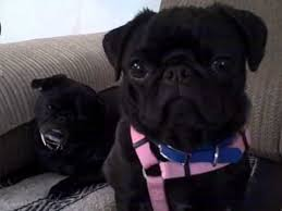 do pugs and puggles shed two black pugs tilt
