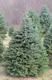 Christmas Tree Species by Corkbark Fir Clover Hollow Christmas Tree Farm