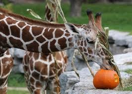 Pumpkin Farm Illinois Giraffe by 380 Best Animals Giraffes U0026 Okapis Images On Pinterest Zoos