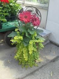 luscious container gerber daisy begonias alyssum wandering jew