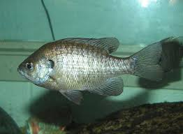 Pumpkin Seed Sunfish Pictures by Bluegill Wikipedia
