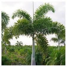 prix des palmiers exterieur palmier nain de méditerranée le chamaerops humilis