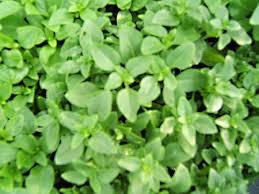 basilic grec à planter basilic en pot aromatiques