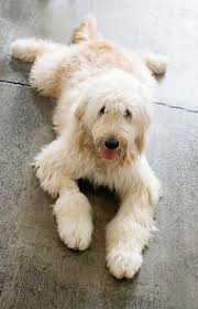 Dogs That Shed The Most Least by Labradoodle Dog Breed Information Pictures Characteristics