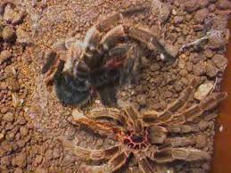 chilean rose hair tarantula flips over after molting youtube