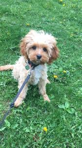 Do Cavapoos Shed A Lot by 26 Best Cavapoo Images On Pinterest Cavapoo Puppies Puppys And