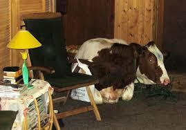 kuh springt durchs fenster pause im wohnzimmer