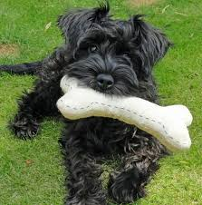 Do Giant Schnauzer Dogs Shed Hair by 109 Best Schnauzer Tails Images On Pinterest Schnauzers Mini