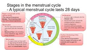 shedding uterine lining before period uterus lining shedding period 100 images menstrual cycle