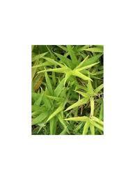 sasinaria ramosa bambou nain