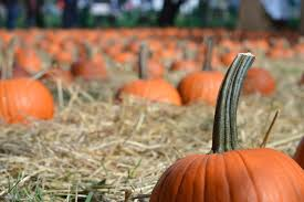 Southern Ohio Pumpkin Patches by A College Girls Fall Bucket List Her Campus