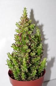 Christmas Tree Species Nz by Plantfiles Pictures Christmas Tree Cactus Eve U0027s Needle