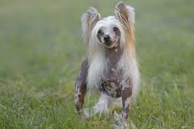 small dogs that don t shed american kennel club