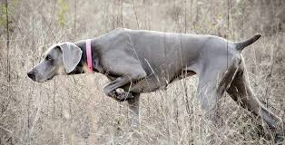Do Long Haired Weimaraners Shed by Weimaraner Dog Breed Standards