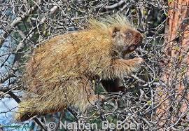 Porcupine Eats Pumpkin by Porcupine Montana Field Guide