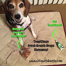 Do Treeing Walker Coonhounds Shed by Life With Beagle Get Your Dog U0027s Breath Tropicleanfresh Breath