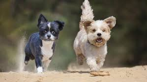Non Shedding Dog Breeds With Pictures by Which Small Dog Breeds Weigh Under 5 Pounds Reference Com