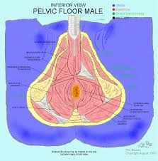 Muscles Of The Pelvic Floor Male by Kegels For Men Femfusion Fitnessfemfusion Fitness