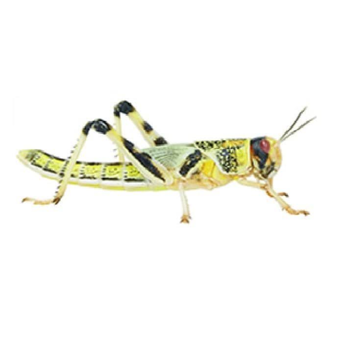 Live Locust Pre Pack Tub - Large, 20-35mm