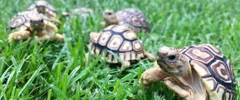 Flukers Turtle Clamp Lamp by Leopard Tortoise Care Sheet Leopard Tortoise Care Guide Diet