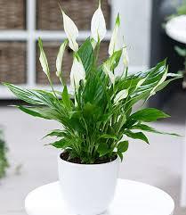 spathiphyllum top zimmerpflanzen kaufen baldur garten