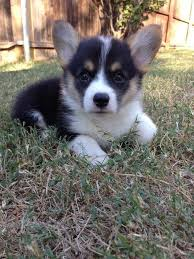 68 best Corgi Pups images on Pinterest