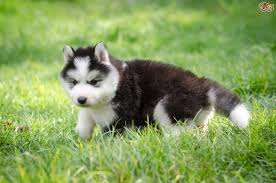 Do Samoyed Huskies Shed by Siberian Husky Dog Breed Information Buying Advice Photos And