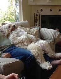 best 25 wheaten terrier ideas on pinterest wheaton puppy