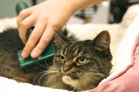service cats cat grooming services shoreline cat care