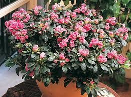 cultiver l azalée des fleuristes