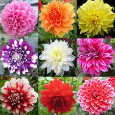 aliexpress buy 20 pcs yukako dahlia flower bulb seeds not