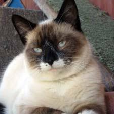 snowshoe cat snowshoe catster