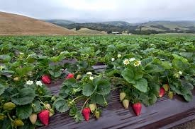 Santa Cruz Pumpkin Patch 2015 by Watsonville California Strawberry Field Out At The Strawberry