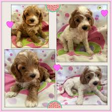 Non Shedding Small Dogs For Adoption by Labradoodle Puppies Gorgeous Doodles Australian Labradoodle