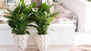 einblatt spathiphyllum richtige pflege der zimmerpflanze