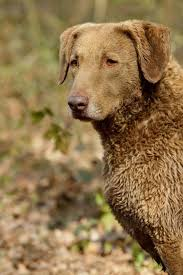 Chesapeake Bay Retriever Vs Lab Shedding by Chesapeake Bay Retriever