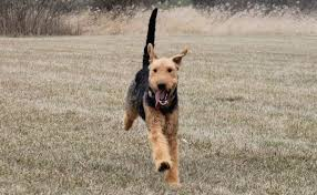 Airedale Terrier Non Shedding by Airedale Terrier Dog Breed Information And Images K9 Research Lab