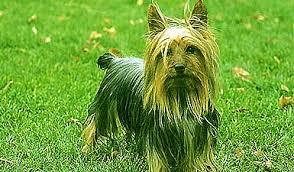 Small Non Shedding Dogs Australia by Silky Terriers Are A Non Shedding Dog With Hunting Dog Roots