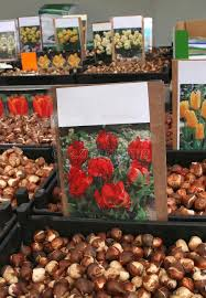 tulip bulbs for sale at the flower market amsterdam