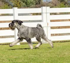 Do Giant Schnauzer Dogs Shed Hair by Standard Schnauzer Dog Breed Information Pictures
