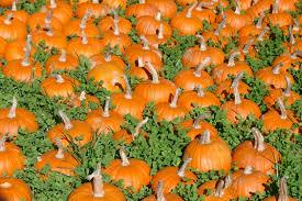 Lane Farms Pumpkin Patch by Long Island Pumpkin Picking Guide 2016