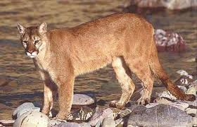 mountain cat what s the difference between cheetahs cougars jaguars leopards