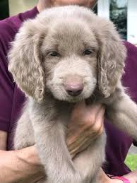 Do Long Haired Weimaraners Shed by Long Haired Weimaraner Breeders Best Long Hair 2017