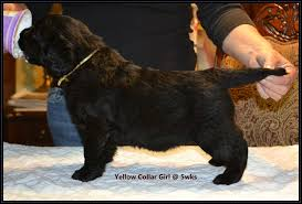 Do Newfoundlands Shed Hair by Long Coats